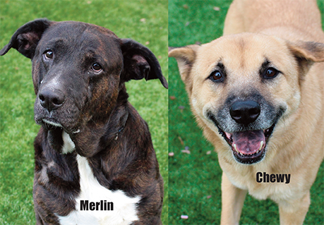 Merlin and Chewy looking for new homes for the holidays!